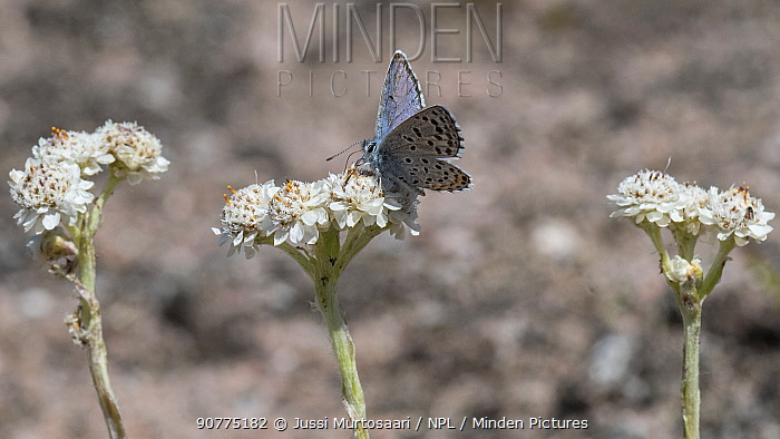 Eastern baton blue butterfly  (Scolitantides vicrama), male feeding on Mountain Everlasting (Antennaria dioica), Finland, June.