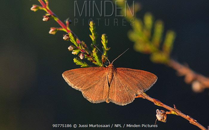 Tawny wave moth (Scopula rubiginata)  Ural, Finland, July.