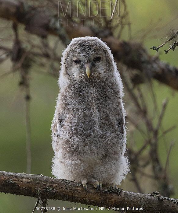 Ural owl (Strix uralensis), juvenile, Finland, June.