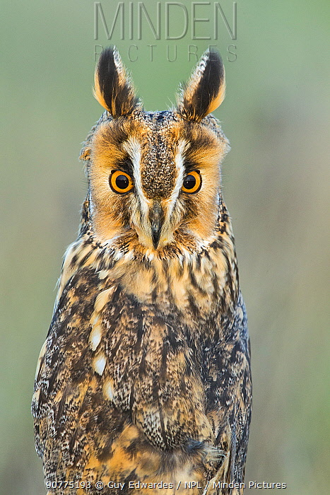 Great grey owl (Strix nebulas) portrait, UK. Captive.