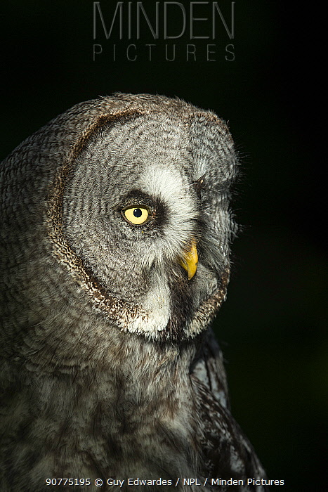 Great grey owl (Strix nebulas) head portrait with black background, UK. Captive.