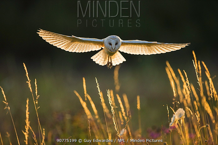 Barn owl (Tyto alba) in flight, hunting, Hampshire, England, UK. Captive.