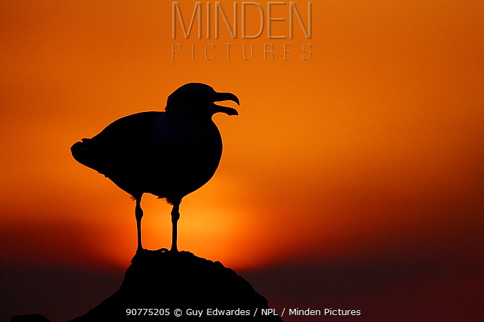 Great black-backed gull (Larus marinus) calling, silhouetted against sunset, Saltee Islands, County Wexford, Ireland, June.