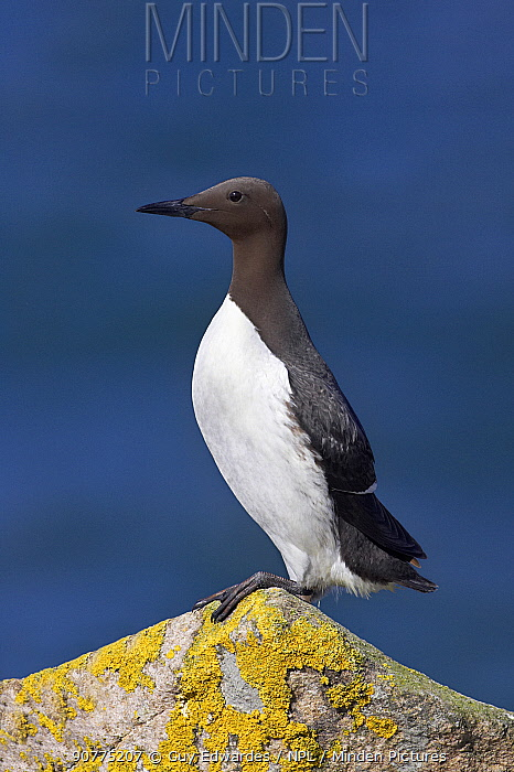 Guillemot (Uria aalge), Great Saltee Island, County Wexford, Republic of Ireland, June.
