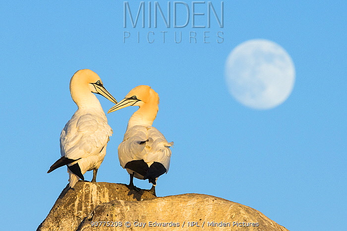 Pair of Northern gannets (Morus bassanus) courting, with moon in the background, Great Saltee Island, County Wexford, Republic of Ireland, June.