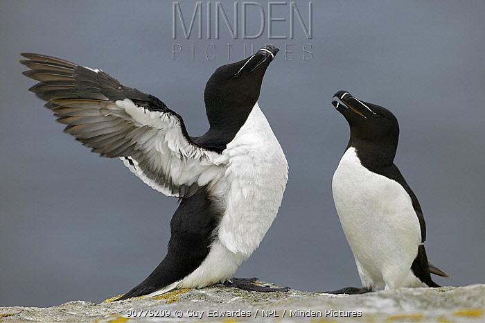 Razorbill (Alca torda) displaying to mate, Saltee Islands, County Wexford, Republic of Ireland, June.