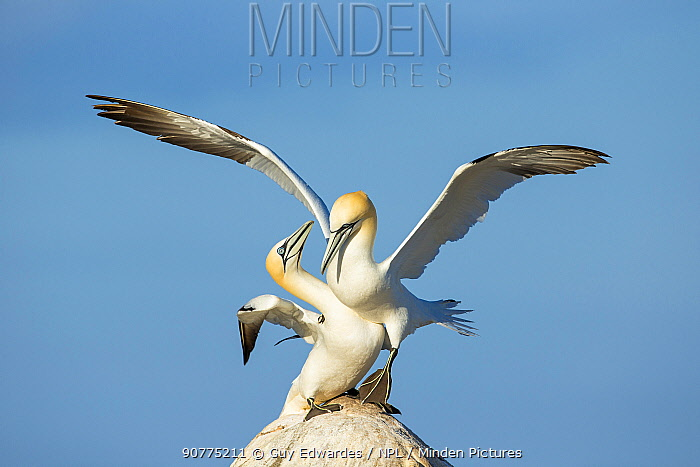 Pair of Northern gannets (Morus bassanus) courting, Great Saltee Island, County Wexford, Republic of Ireland, June.