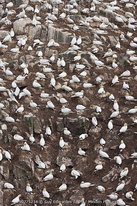 Gannet (Morus bassanus) colony, Great Saltee Island, County Wexford, Republic of Ireland, June.