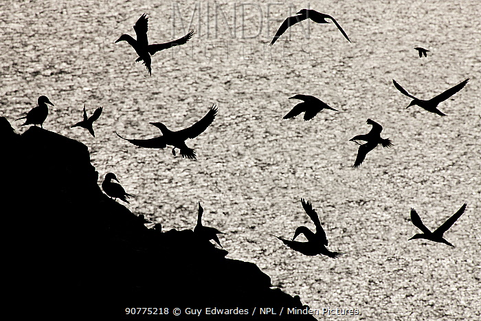 Group of Northern gannets (Morus bassanus) silhouetted in flight near cliff, Great Saltee Island, County Wexford, Republic of Ireland, June.