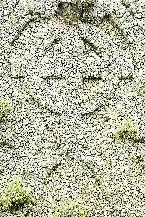 Crawfish lichen (Ochrolechia parella) on a gravestone, Unst, Shetland Islands, Scotland, August.