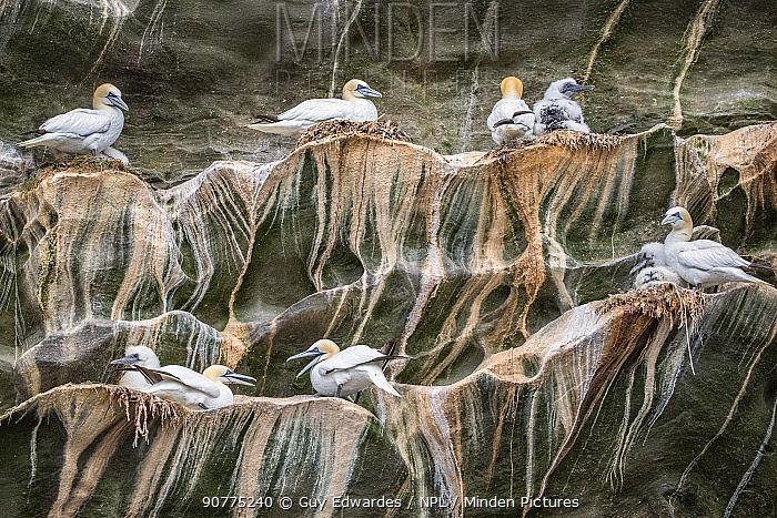 Northern gannet (Morus bassanus) breeding colony on a cliff, Noss NNR, Shetland, Scotland, UK