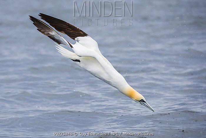 Northern gannet (Morus bassanus) diving, Isle of Noss, Shetland Islands, Scotland