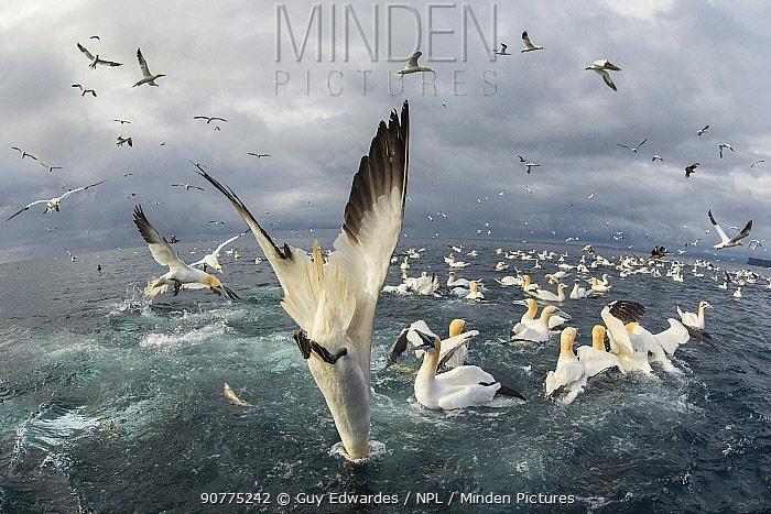 Northern gannet (Morus bassanus), Feeding frenzy, Noss NNR, Shetland, Scotland, UK
