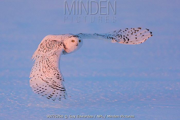 Snowy owl (Bubo scandiacus) flying low over snow, Ontario, Canada, January.