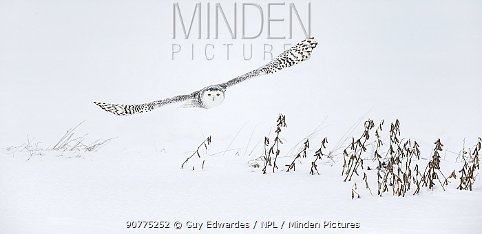 Snowy owl (Bubo scandiacus) flying low over ground, Ontario, Canada, January.