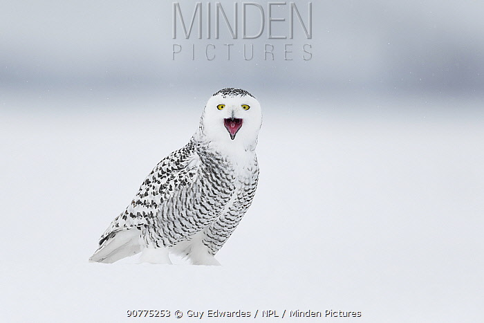 Snowy owl (Bubo scandiacus) on ground calling, Ontario, Canada, January.