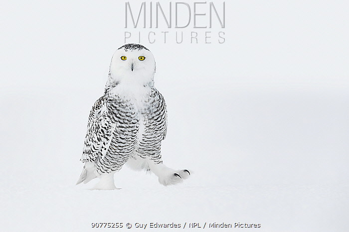 Snowy owl (Bubo scandiacus) walking on ground in snow, one foot raised, Ontario, Canada, January.