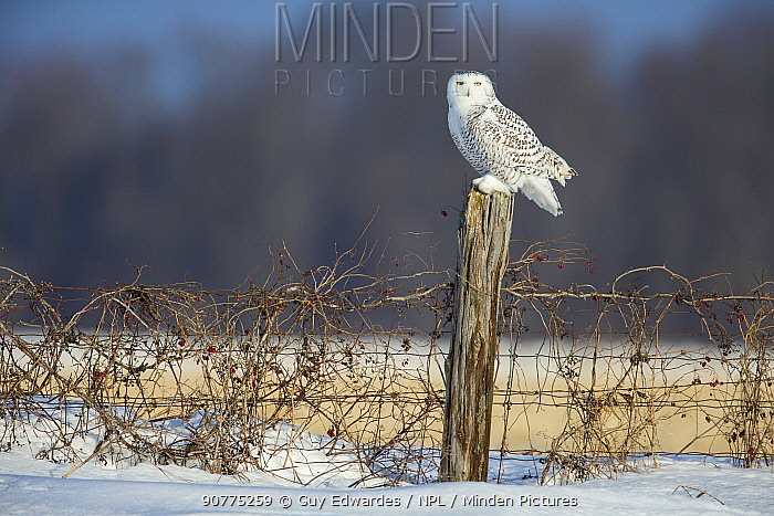 Snowy owl (Bubo scandiacus) perched on a fence post, Ontario, Canada, January.