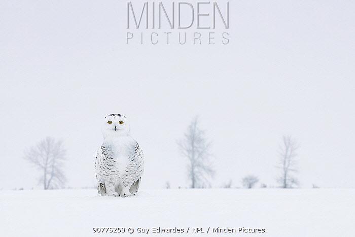 Snowy owl (Bubo scandiacus) on ground in snow, Ontario, Canada, January.