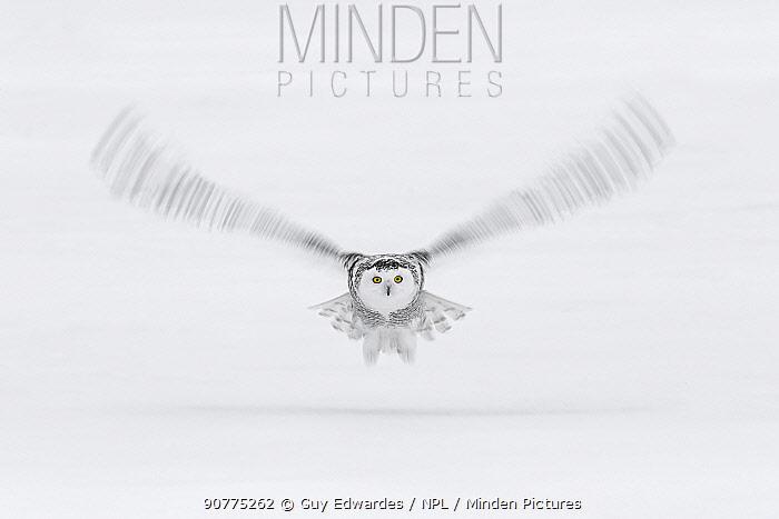 Snowy owl (Bubo scandiacus) in flight, Ontario, Canada, January.