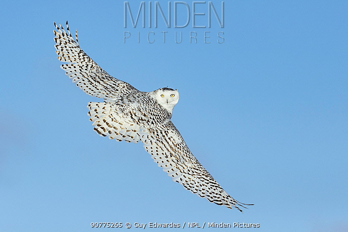 Snowy owl (Bubo scandiacus) in flight against blue sky, Ontario, Canada, January.