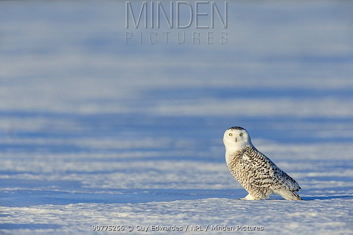 Snowy owl (Bubo scandiacus) on ground in snow, Ontario, Canada, January.