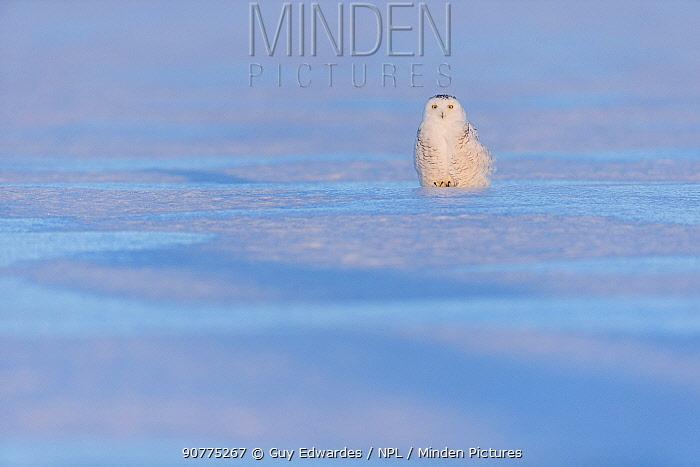 Snowy owl (Bubo scandiacus), Ontario, Canada, January.