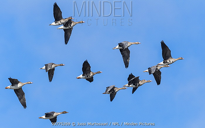 Bean Goose (Anser fabalis), at bottom with, greater white-fronted goose (Anser albifrons), on their way to Siberia, Finland, April.