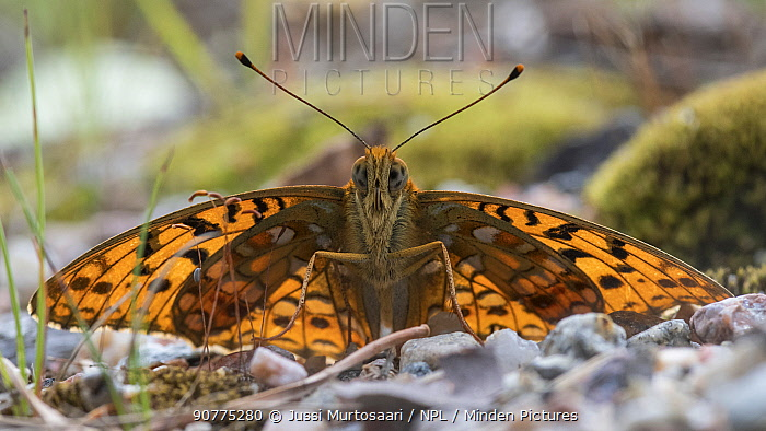 High brown fritillary butterfly (Argynnis adippe), male on ground, Finland, July.