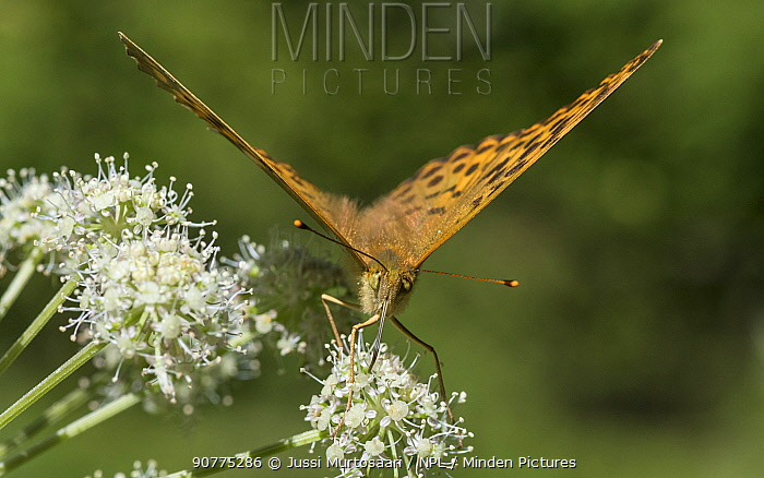 Silver-washed fritillary butterfly (Argynnis paphia), female feeding from flower, Finland, August.