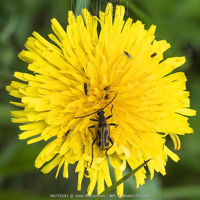 Longicorn beetle (Brachyta interrogationis) on dandelion, Finland, June.