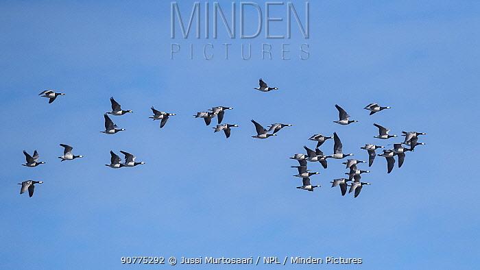 Barnacle goose (Branta leucopsis) flock on way to Siberia, Finland, May.