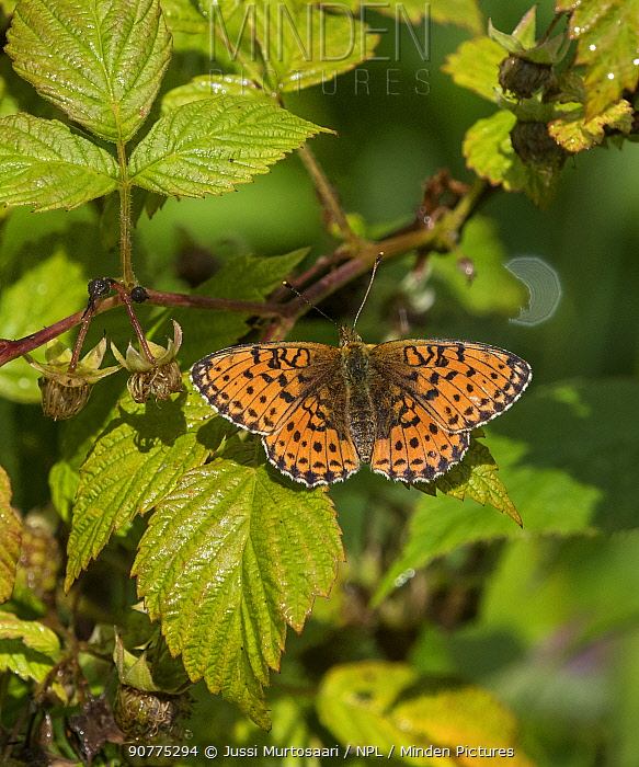 Lesser marbled fritillary butterfly (Brenthis ino), female,  Finland, August.