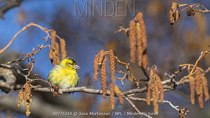 Eurasian siskin (Carduelis spinus), male on branch with catkins, Finland, April.