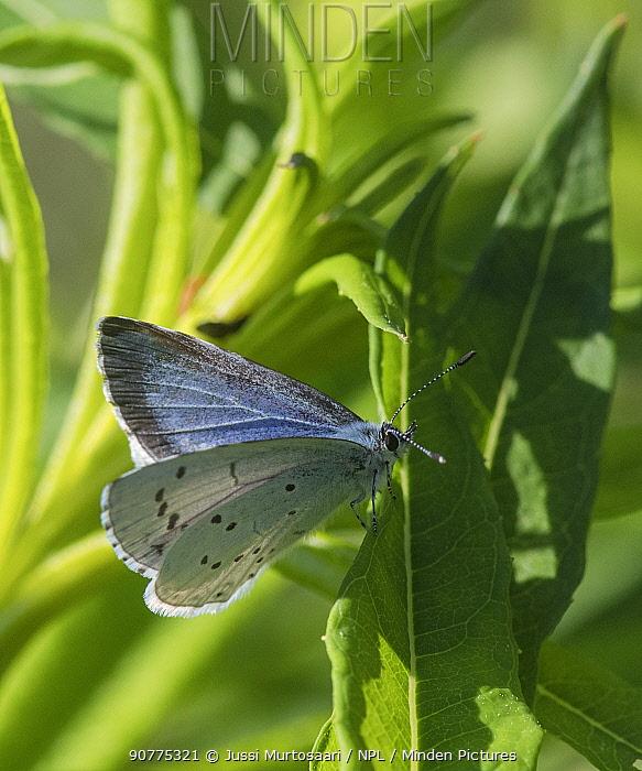Holly blue butterfly (Celastrina argiolus), female, Finland, June.