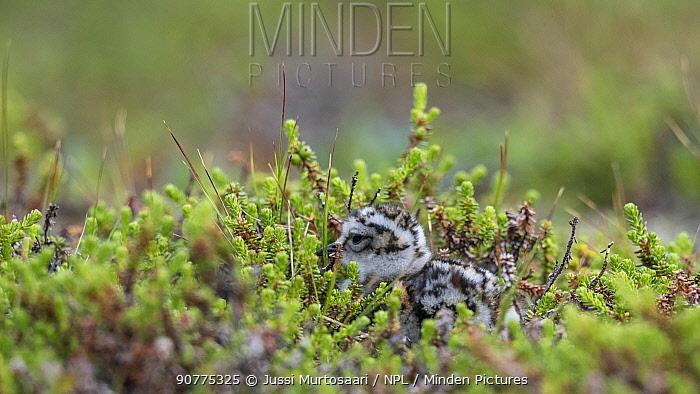 Eurasian dotterel (Charadrius morinellus), juvenile in nesting habitat, Finland, July.