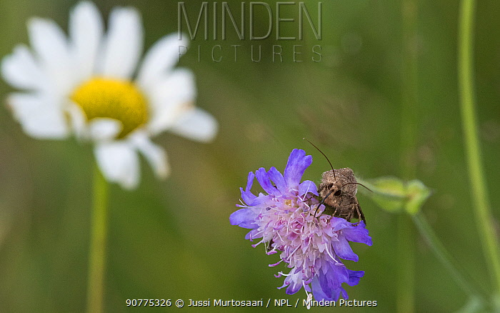 Moth (Chersotis cuprea) on Field scabious flower, with Ox-eye daisy in the background, Finland
