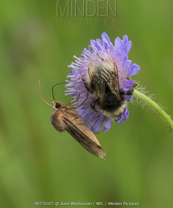 Moth (Chersotis cuprea) on field scabious with bumblebee, Finland
