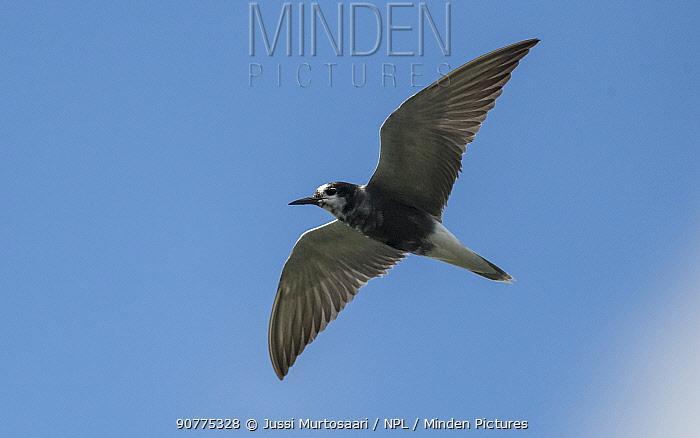 Black tern (Chlidonias niger), in flight, Finland, July.