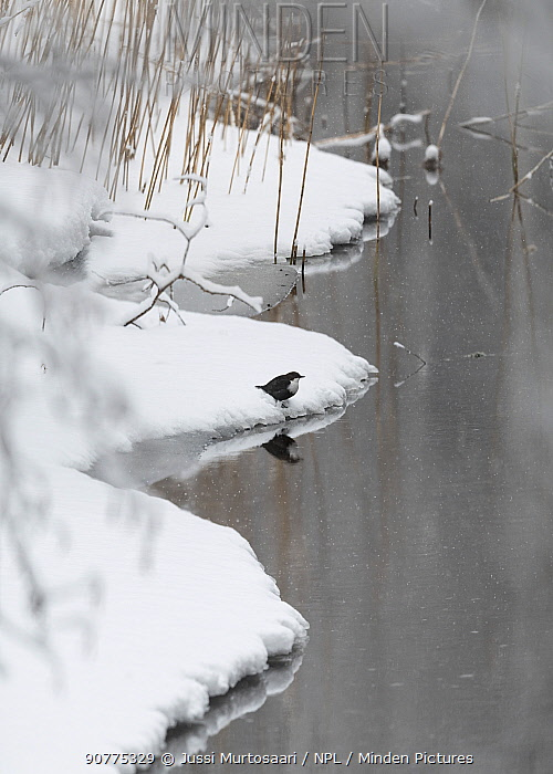 White-throated dipper (Cinclus cinclus), at waters edge in winter, Finland