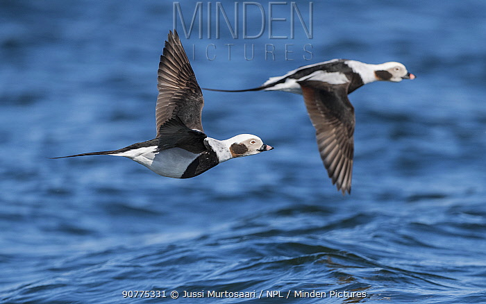 Long-tailed duck (Clangula hyemalis), males in flight, Finland, April.