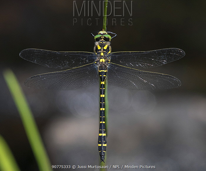 Golden-ringed dragonfly (Cordulegaster boltonii), male, Finland, August.