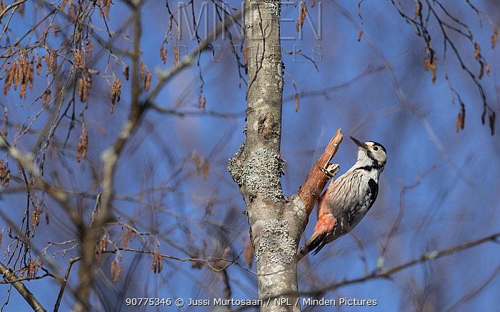 White-backed woodpecker (Dendrocopos leucotos), female, Finland, April.
