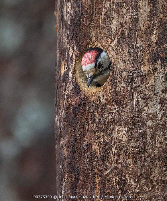 Lesser spotted woodpecker (Dendrocopos minor), male in nest, Finland, June.