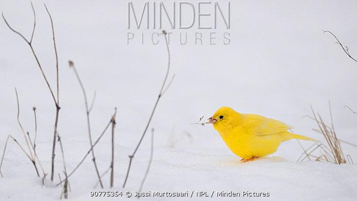 Yellowhammer (Emberiza citrinella), leucistic form in snow, Finland, February.