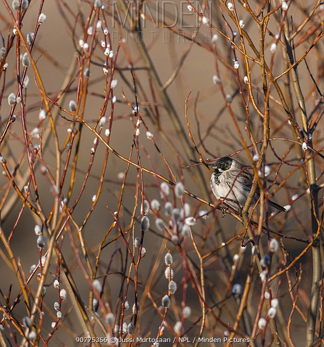 Common reed bunting (Emberiza schoeniclus), male, Finland, April.