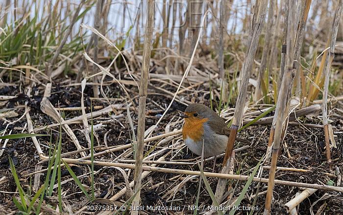 Robin (Erithacus rubecula),  Finland, April.