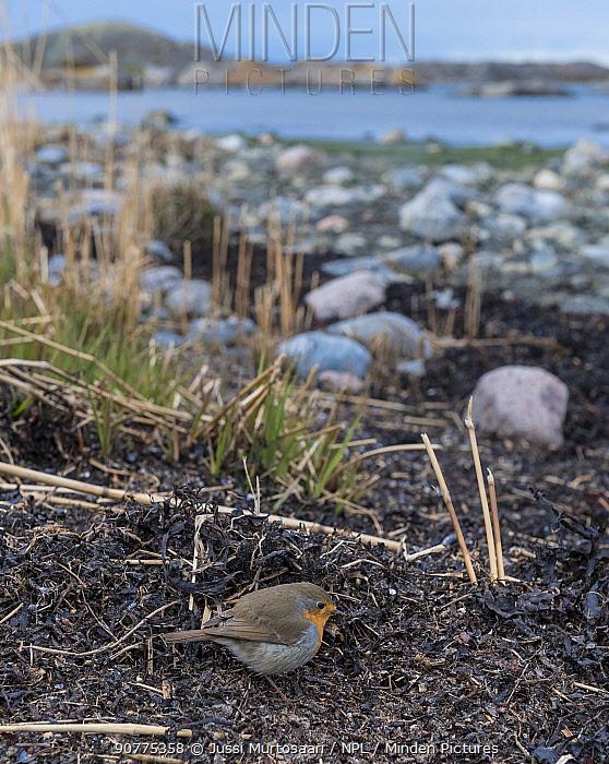 Robin (Erithacus rubecula) foraging on coast, Finnish archipelago, Finland, April.