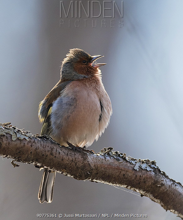 Common chaffinch (Fringilla coelebs) male singing, Finland, April.