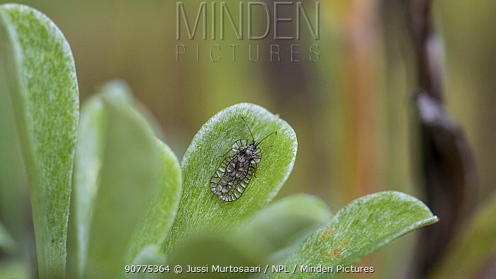 Lace Bug (Galeatus spinifrons) on plant leaf, Finland, July.